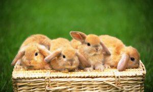 46472-bunnies-four-cute-rabbits